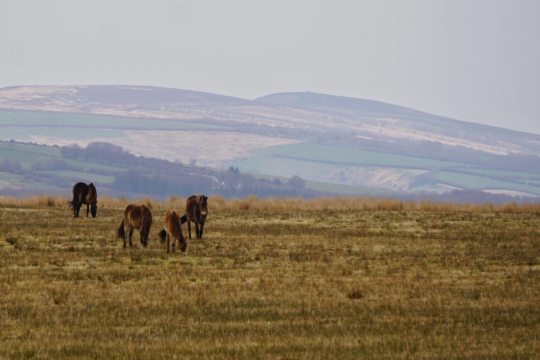 Exmoor Ponies - Little Bray is just 2 miles from Exmoor National Park