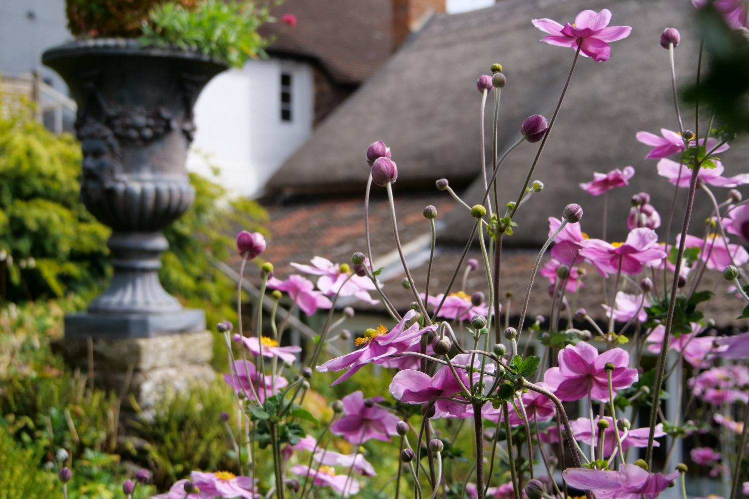 Japanese anemones in the sun