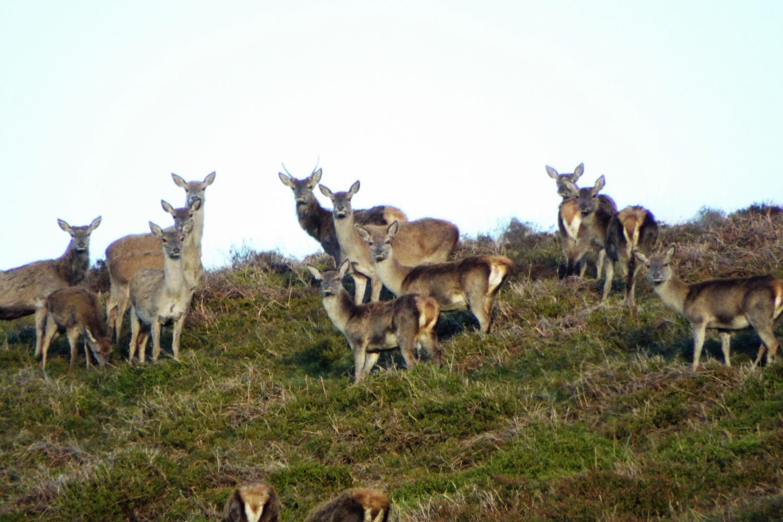 The Exmoor Red deer