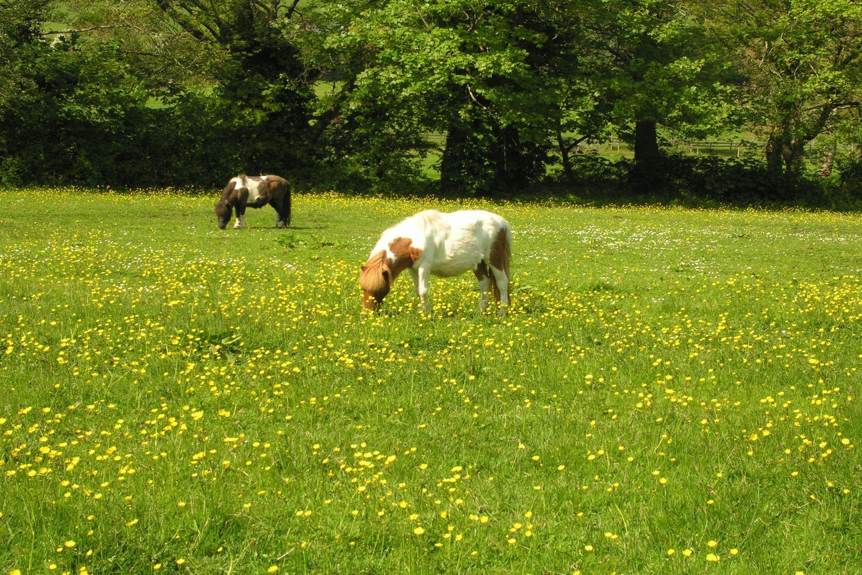 The Shetland Ponies, Freddie & Phoenix