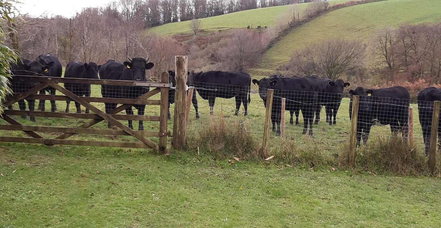 Heifers at the gate