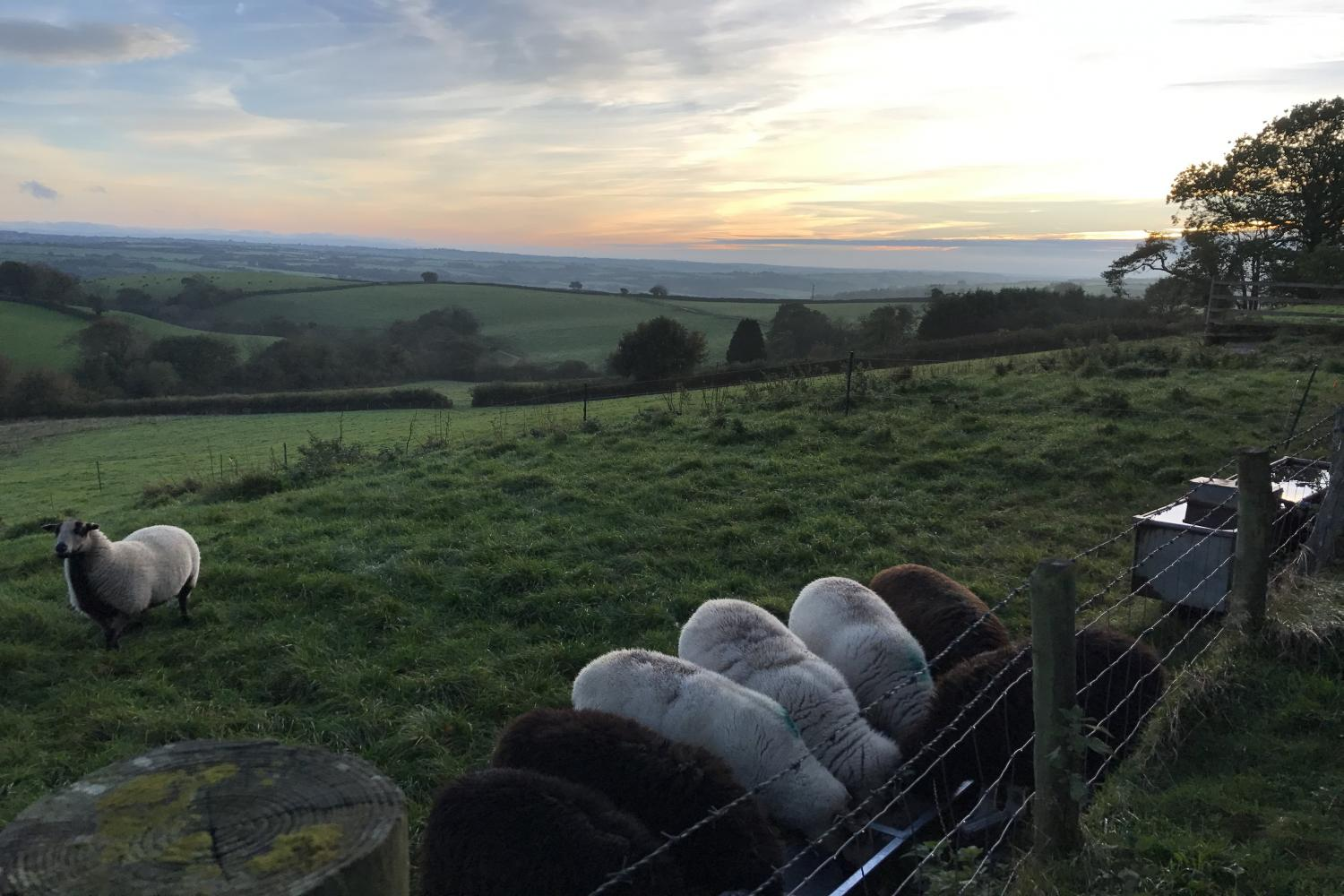 The sheep enjoying some food at sunset.