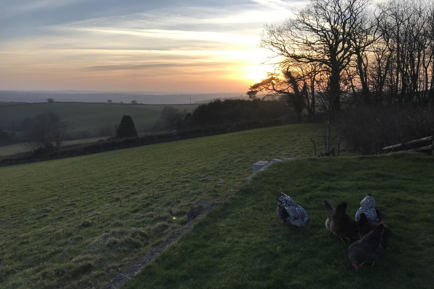 The chickens like a good sunset too!
