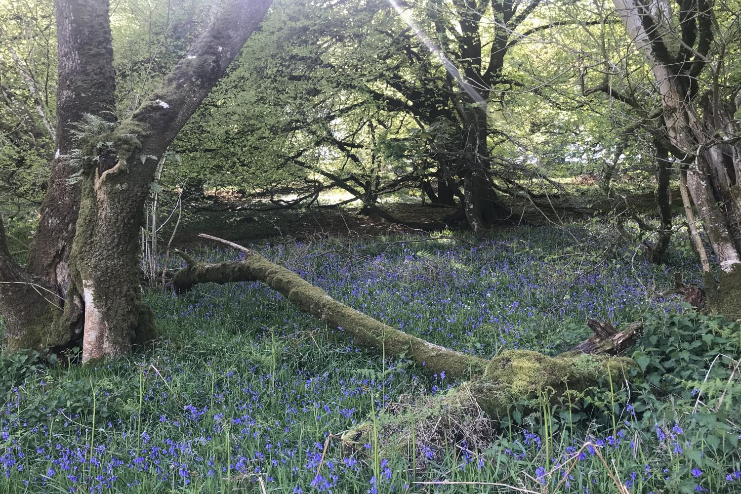 Walks from The Cow Shed with bluebells in the woods